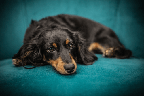 When to put down a Dog with Cancer Sydney