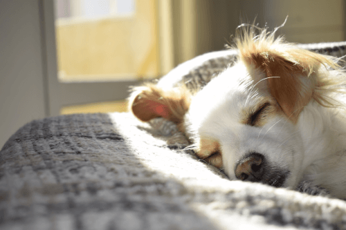 Time to Euthanize a Dog with Cancer in Australia