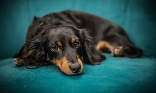 When to put down a Dog with Cancer