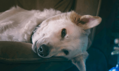 What to Do When Your Dog Dies at Home