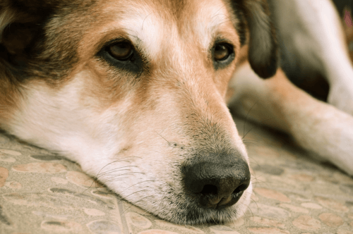 How Much is Dog Euthanasia Cost in Sydney
